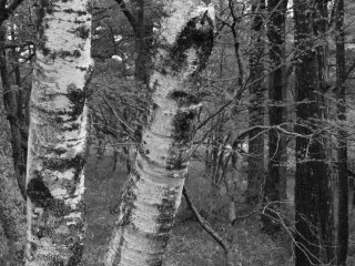 There seems to be no rhyme nor reason to where the birch grow here