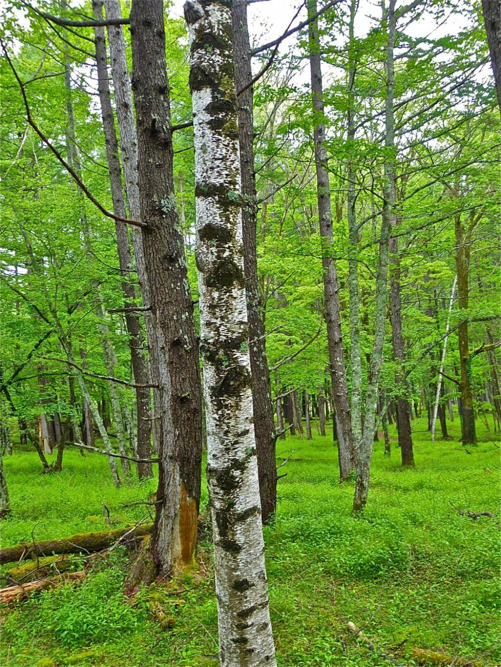 The whiteness of the birch contrasts nicely with the lush, green of  the forest
