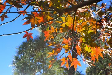 <p>In late autumn, you should be able to catch a glimpse of maple tree leaves turned in red and gold hues.</p>