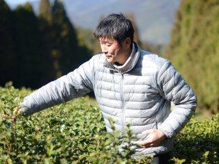 Мацумото-сан ведет нас по своей чайной плантации