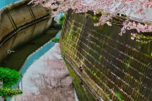 Cherry Blossoms at canal near our home