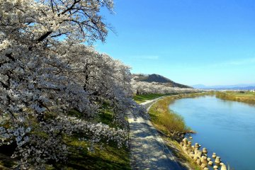 이렇게 될 거야! 1000그루의 벚나무가 한눈에 들어온다!