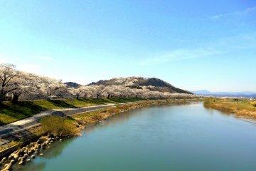 이 슬픈 풍경은 1000그루의 벚꽃을 한 눈에 볼 수 있는 찬란한 풍경으로 변할 것이다!