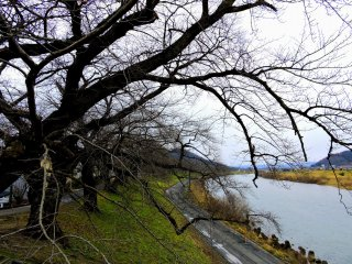 Bare cherry tree boughs along the river. In spring, they will turn into...