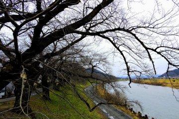 벌거벗은 벚꽃나무가 강을 따라 가지를 뻗고 있다. 봄이 되면 그들은 ...로 변할 것이다.