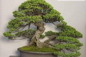 五葉松 銘「千代の松」 大宮盆栽美術館の中でも最大級の盆栽