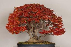 もみじ(獅子頭) 季節に応じて四季を感じられる盆栽も展示されている