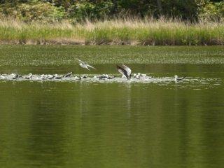 Les oiseaux prennent un bain à l'étang Himenuma