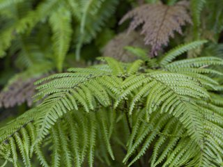 These ferns have fronds split at a distinct angle