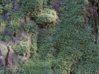 This pale-green moss, a member of the Dicranumgenus (fork-moss), prefers the lower tree trunks at the shrine