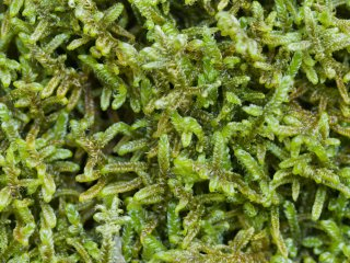Closeup of Hypnum (plait-moss), is one of the several moss genera at the campground