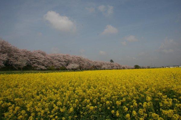 桜と菜の花の見事なコラボレーション