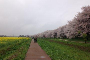 제방에는 벚꽃. 하천 부지에는 유채꽃. 길을 걷는 것만으로도 즐겁다.