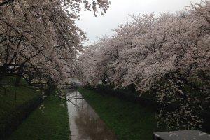 만개시에 보는 벚꽃은 볼 만하다