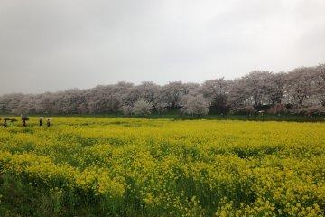 広大な菜の花畑と桜
