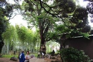 鳩ヶ谷宿「地蔵院」にある、推定樹齢600年のタブノキ
