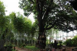 幹周6.1m、樹高20mの巨樹で、運気の集まる木と言われています