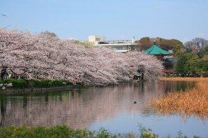Цветение сакуры вокруг озера в парке, зозле станции Уэно