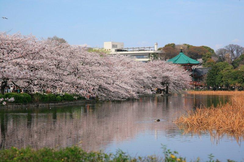 <p>Цветение сакуры вокруг озера в парке, зозле станции Уэно</p>