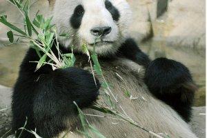 Nampaknya panda hanya duduk-duduk saja sambil makan sepanjang hari