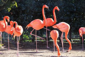 Ярко-розовые фламинго