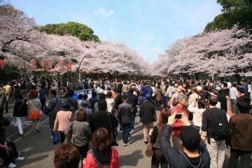 <p>Люди заполнены людьми, любующимися цветением вишни</p>