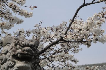 Koriyama Castle Cherry Blossoms