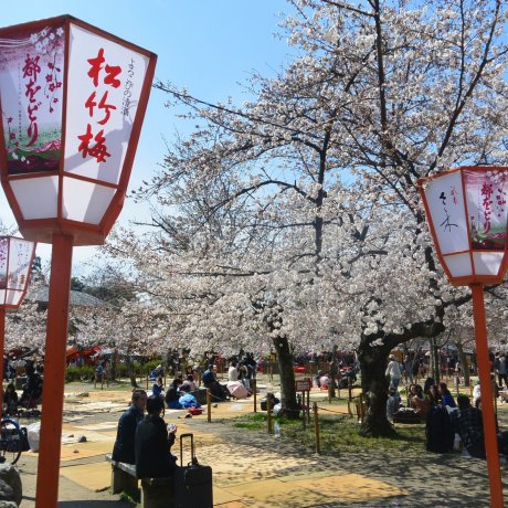 Places to See Sakura in Kyoto