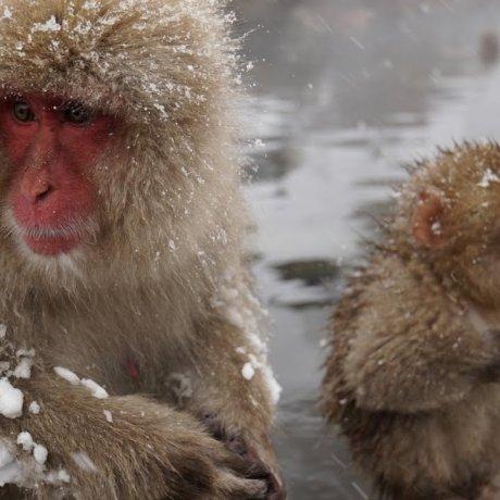 나가노의 일본원숭이 공원 하이킹