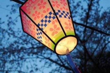 Lanterns light during the cherry blossom season as it gets dark