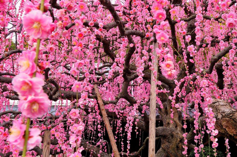 أزهار البرقوق المتدلية للأسفل وهي تمثيل للاغصان المتهدلة بألوانها الرائعة