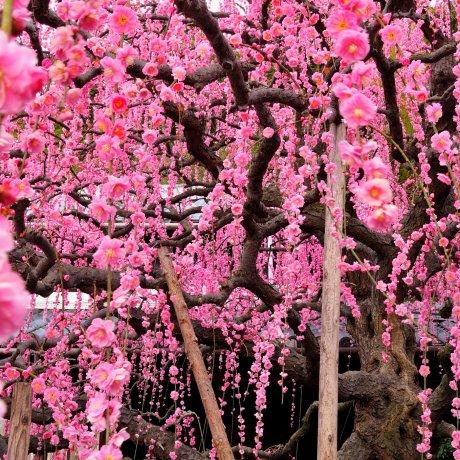 أزهار البرقوق اليابانية المتتالية