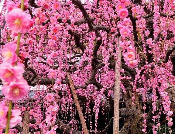 Flores de Ameixeira Japonesa em Cascata