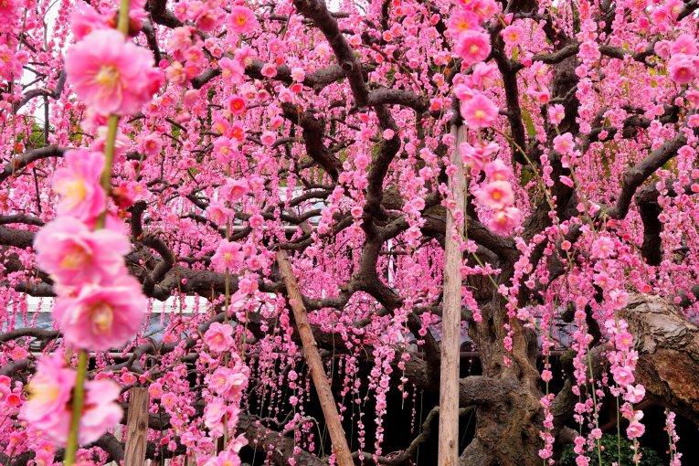 Cascadas de flores de ciruelos japoneses