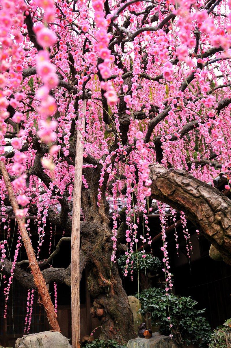 <p>60년 된 매화꽃 나무</p>