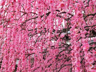 This certainly represents the beauty of the plum blossoms!
