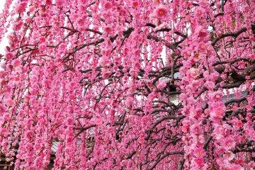 <p>너무나도 아름다운 모습의 매화꽃!</p>