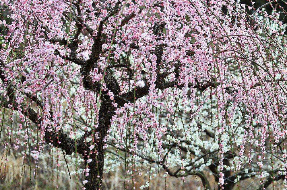 山里にも春が零れる!