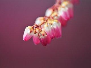 弾けそうな馬酔木の花も紅色に色付く