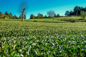 Up close and personal with a tea field