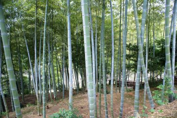 <p>A grove of bamboo sits up on the hill at the garden&#39;s edge</p>