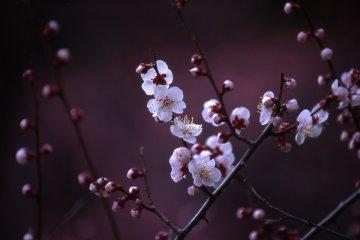 万博に咲き誇る梅