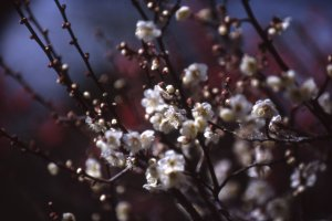 Dreamy plum blossoms on a spring day