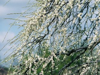 Cascading plum trees still young with a tinge of green!