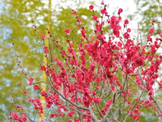 Brilliant plum blossoms with young bamboo trees in the background