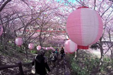 Flores de Cerejeira de Miurakaigan