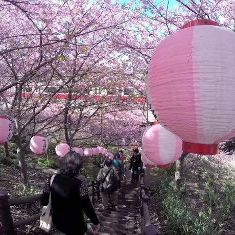 Cerisiers en Fleurs à Miurakaigan