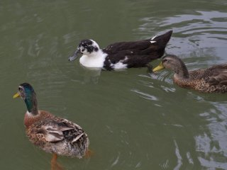 Waterfowl and turtles inhabit the canals