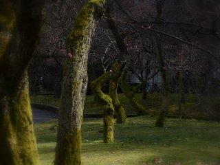 3月上旬、春の到来を待ち受ける福井市中央公園の梅林