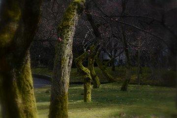 후쿠이시 센트럴 파크의 매화 숲은 아직도 3월 초봄을 기다리고 있다